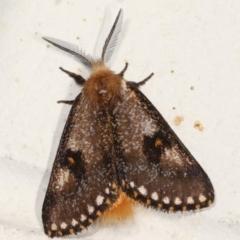 Epicoma contristis (Yellow-spotted Epicoma Moth) at Melba, ACT - 26 Jan 2021 by kasiaaus