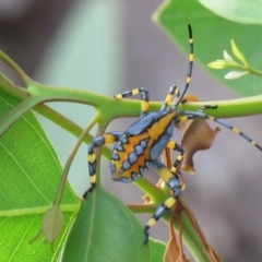 Amorbus alternatus (Eucalyptus Tip Bug) at Wanniassa, ACT - 3 Feb 2021 by SandraH