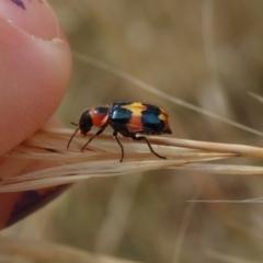 Dicranolaius concinicornis (Melyrid flower beetle) at Mount Rogers - 2 Jan 2021 by Laserchemisty