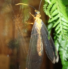 Nymphes myrmeleonoides (Blue Eyes Lacewing) at Spence, ACT - 13 Jan 2021 by Laserchemisty