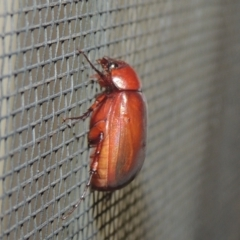 Sericesthis nigrolineata (TBC) at Conder, ACT - 27 Dec 2020 by michaelb