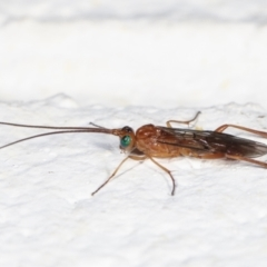 Unidentified Parasitic wasp (numerous families) (TBC) at Melba, ACT - 26 Jan 2021 by kasiaaus