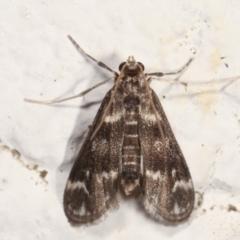 Hygraula nitens (Australian Pond Moth) at Melba, ACT - 27 Jan 2021 by kasiaaus
