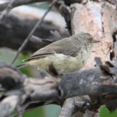 Acanthiza reguloides (Buff-rumped Thornbill) at Bowna Reserve - 1 Feb 2021 by PaulF