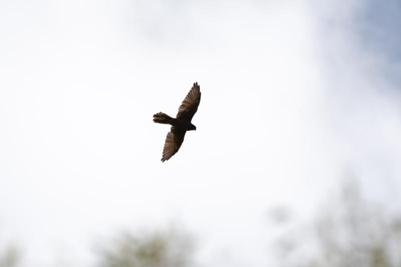 Falco berigora at suppressed - 3 Feb 2021