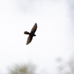 Falco berigora (Brown Falcon) at Canyonleigh - 3 Feb 2021 by NigeHartley