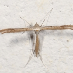 Stenoptilla zophodactylus (Dowdy Plume Moth) at Melba, ACT - 27 Jan 2021 by kasiaaus