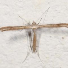 Stenoptilla zophodactylus (Dowdy Plume Moth) at Melba, ACT - 27 Jan 2021 by kasiaaus