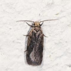 Hoplostega ochroma (A concealer moth) at Melba, ACT - 27 Jan 2021 by kasiaaus