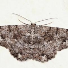 Unplaced externaria (Mahogany Bark Moth) at Melba, ACT - 28 Jan 2021 by kasiaaus