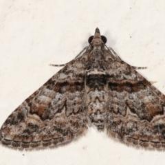 Phrissogonus laticostata (Apple looper moth) at Melba, ACT - 28 Jan 2021 by kasiaaus
