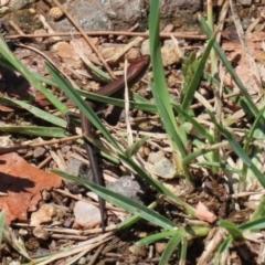 Lampropholis delicata (Delicate Skink) at Cotter Reserve - 2 Feb 2021 by RodDeb