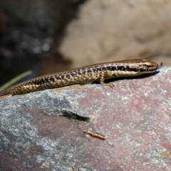 Eulamprus heatwolei (Yellow-bellied Water-skink) at Cotter Reserve - 2 Feb 2021 by RodDeb
