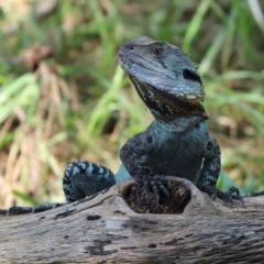 Intellagama lesueurii (Eastern Water Dragon) at Cotter Reserve - 2 Feb 2021 by RodDeb