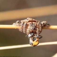 Dolophones sp. (genus) (Wrap-around spider) at Black Mountain - 4 Feb 2021 by Roger