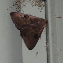 Dasypodia selenophora (Southern old lady moth) at Cotter Reserve - 2 Feb 2021 by RodDeb