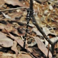 Eusynthemis guttata (Southern Tigertail) at Tidbinbilla Nature Reserve - 4 Feb 2021 by JohnBundock