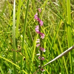 Spiranthes australis (Pink spiral orchid) at Paddys River, ACT - 4 Feb 2021 by JohnBundock
