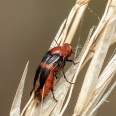 Macrosiagon sp. (genus) (Ripiphorid beetle) at Black Mountain - 3 Feb 2021 by Roger