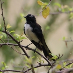 Rhipidura leucophrys (Willie Wagtail) at Collins Street Retarding Basin - 4 Feb 2021 by PaulF