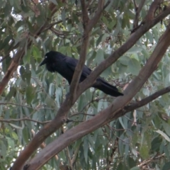 Corvus coronoides (Australian Raven) at Albury - 4 Feb 2021 by PaulF