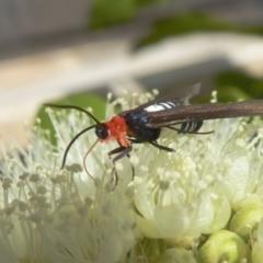 Hestiochora furcata (A zygaenid moth) at Rugosa at Yass River - 4 Feb 2021 by SenexRugosus