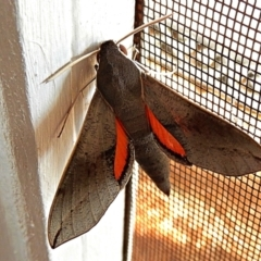 Hippotion scrofa (Coprosma Hawk Moth) at Crooked Corner, NSW - 3 Feb 2021 by Milly