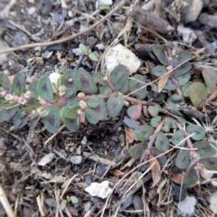 Euphorbia maculata at Rugosa at Yass River - 4 Feb 2021 by SenexRugosus