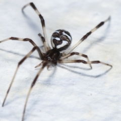 Unidentified Other web-building spider (TBC) at Melba, ACT - 28 Jan 2021 by kasiaaus