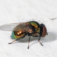 Unidentified True fly (Diptera) (TBC) at Melba, ACT - 28 Jan 2021 by kasiaaus