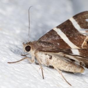 Grammodes oculicola at Melba, ACT - 30 Jan 2021