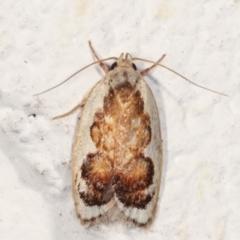Garrha idiosema (A concealer moth) at Melba, ACT - 30 Jan 2021 by kasiaaus