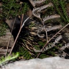 Tachyglossus aculeatus (Short-beaked Echidna) at Leneva, VIC - 5 Jan 2021 by WingsToWander