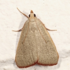 Ocrasa albidalis (A Pyralid moth) at Melba, ACT - 29 Jan 2021 by kasiaaus