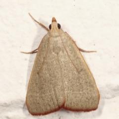 Ocrasa albidalis (A Pyralid moth) at Melba, ACT - 29 Jan 2021 by kasiaaus