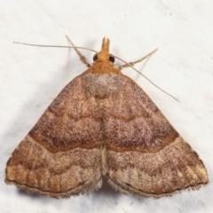 Meranda susialis (Three-lined Snout Moth) at Melba, ACT - 29 Jan 2021 by kasiaaus