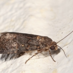 Proteuxoa (genus) at Melba, ACT - 30 Jan 2021