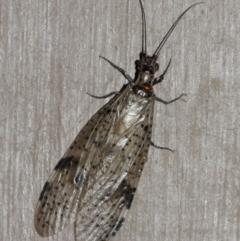 Archichauliodes (Riekochauliodes) guttiferus (Dobsonfly or Fishfly) at ANBG - 30 Jan 2021 by TimL