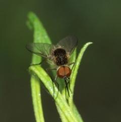 Geron sp. (genus) (Slender Bee Fly) at ANBG - 31 Jan 2021 by TimL