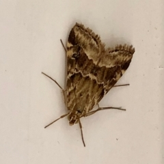 Hellula hydralis (Cabbage Centre Moth) at Aranda, ACT - 4 Feb 2021 by KMcCue