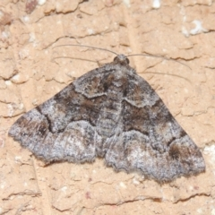 Gastrina cristaria (Wave-lined Geometrid) at Conder, ACT - 22 Dec 2020 by michaelb