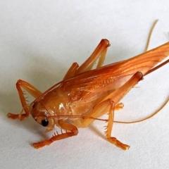 Hadrogryllus sp. (genus) (A raspy cricket) at Crooked Corner, NSW - 4 Feb 2021 by Milly