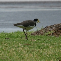 Vanellus miles (Masked Lapwing) at Albury - 4 Feb 2021 by PaulF