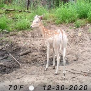 Dama dama (Fallow Deer) at suppressed by JoyGeorgeson