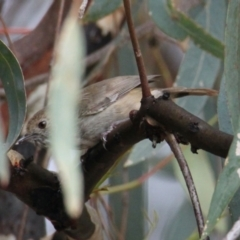 Acanthiza pusilla (Brown Thornbill) at Albury - 4 Feb 2021 by PaulF
