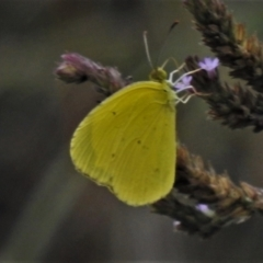 Eurema smilax at Gigerline Nature Reserve - 5 Feb 2021
