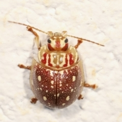 Paropsis geographica (Tortoise beetle) at Melba, ACT - 30 Jan 2021 by kasiaaus