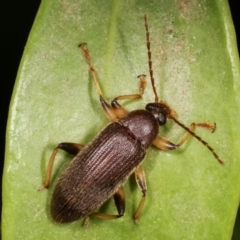Alleculinae sp. (subfamily) (TBC) at Melba, ACT - 30 Jan 2021 by kasiaaus