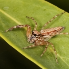 Helpis minitabunda (Jumping spider) at Melba, ACT - 30 Jan 2021 by kasiaaus