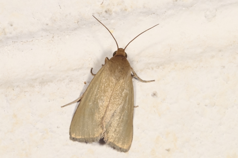 Heliocheilus (genus) at Melba, ACT - 30 Jan 2021